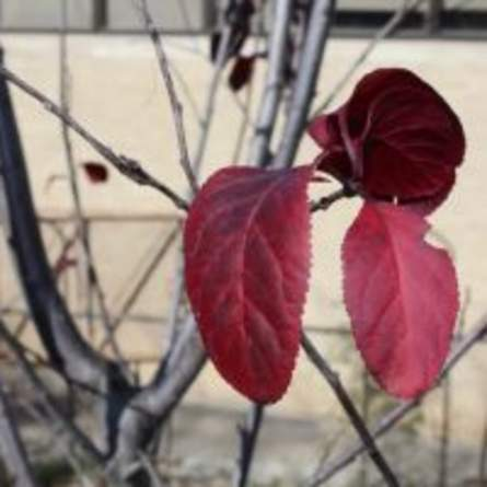 Purple Leaf Plum
