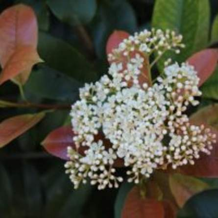 Redtip Photinia