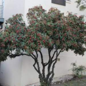 Chinese Photinia